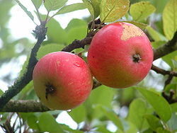 250px-discovery_apples