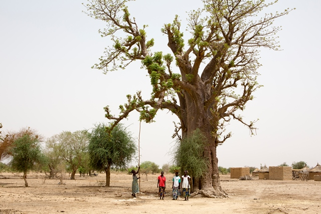 Women-from-Barsalogho-Burkina-Faso-collect-Baobab-leaves